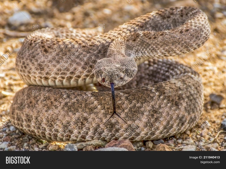 Wild Rattlesnake Image Photo Free Trial Bigstock