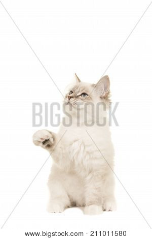 Cute sitting birman kitten cat looking up and sticking its paw up isolated on a white background