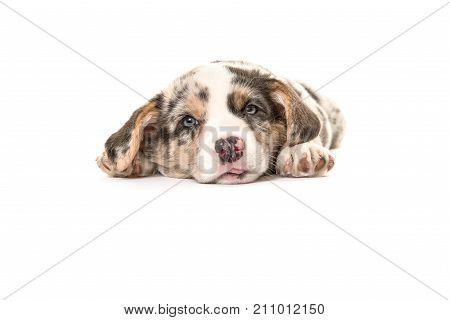 Cute tired welsh corgi puppy dog facing the camera and lying on the floor isolated on a white floor
