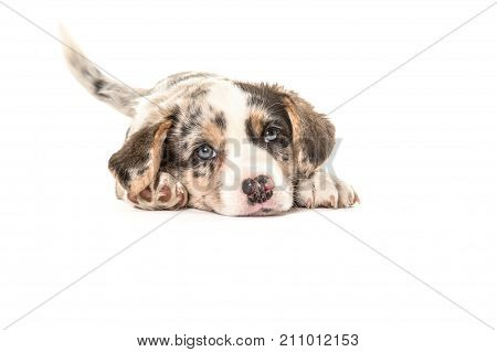 Cute welsh corgi puppy seen from the front lying down on the floor wagging its tail isolated on a white background