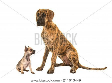 Brown great dane and cute chihuahua looking up to the great dane isolated on a white background