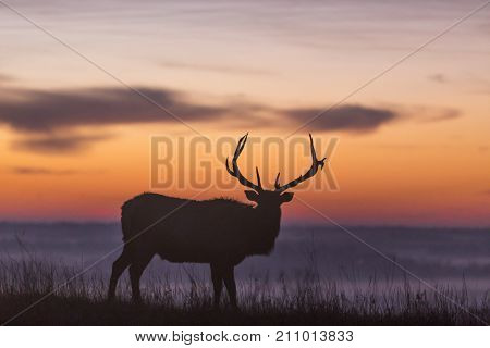 elk silhouette at sunrise; Maxwell Wildlife Preserve, Kansas