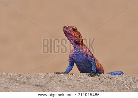 Pretty red and blue male rainbow lizard agama from Tanzania
