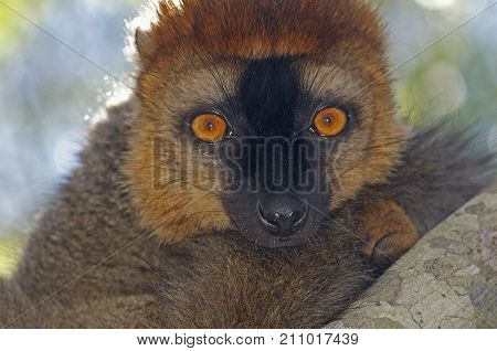 Portrait of a brown lemur looking at the camera resting on a brench