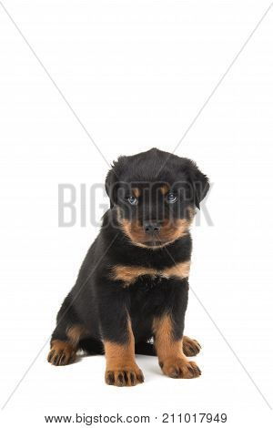 Rottweiler puppy sitting and looking like he is guilty or sorry isolated on a white background