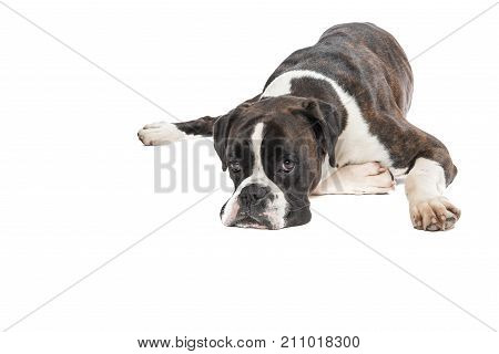 Lazy boxer dog lying down with its head on the floor isolated on a white background