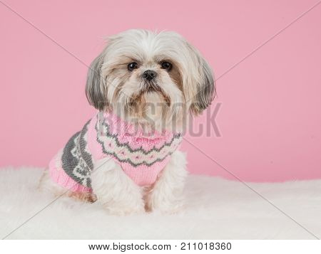 Shih tzu dog dressed in a knitted pink sweater at a pink background