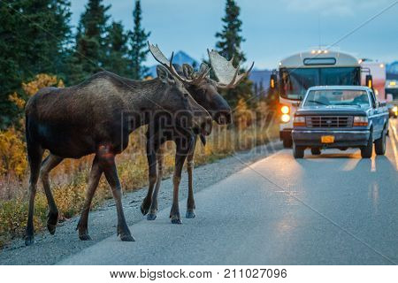 Two moose bulls in mating season, crossing road in Denali national park, Alaska