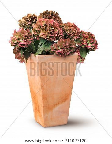 Decayed autumn hydrangea in old rectangular terracotta pot isolated on white