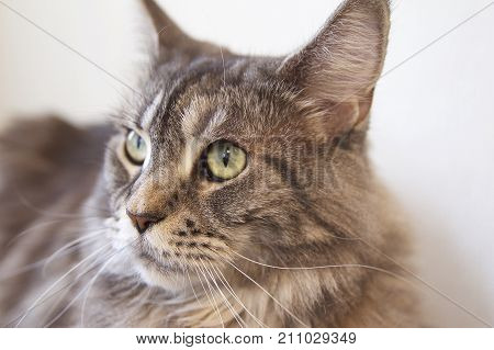Young cat of Maine Coon breed looks