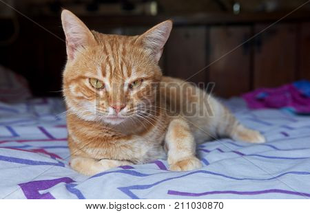 Seriuos brown cat on a bed looking straight to camera, Sleepy cat on a sofa, resting cat face close up, lazy cat on day time, sleeping kitten, sleepy cat close up,domestic cat, relaxing cat