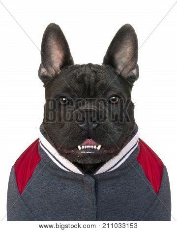 mascot mugshot type portrait head and shoulders of a blue French bulldog dressed in college high school sports gear on a white isolated background front view eyes looking straight copy space on jacket