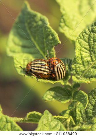 Colorado beetles sitting on a potato plant leaves