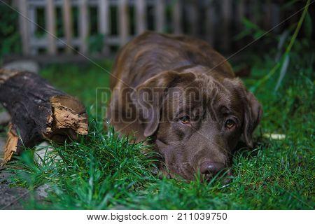 Brown Labrador Dog Is Lying On The Green Grass. Chocolate Labrador