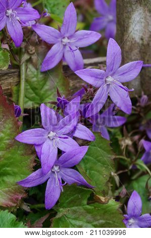 Pretty campanula flowers. (Campanula versicolor). Close up detail of the distinctive purple-blue star-shaped flowers on a trailing herbaceous variety.