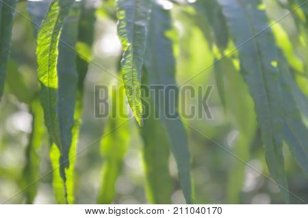 Glaucous willow tree leaves hanging vertically on a hazy halcyon summer day. Close up soft focus background with bokeh.