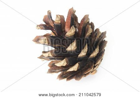 Dry disclosed pine cone closeup on white background
