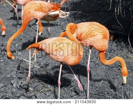 Group of bright orange glowing flamingos grassing. With a black white background of my colored details collection