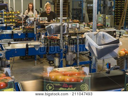 Harmelen Netherlands - May 23 2017: Tomatoes stockroom with workers at conveyor belt in greenhouse for production of tomatoes.