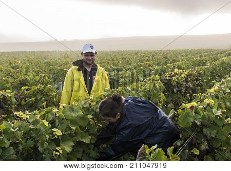 Vezernay France - September 10 2017: Harvest of Pinot Noir grapes in the Champagne region with workers in the vineyard on a misty morning.