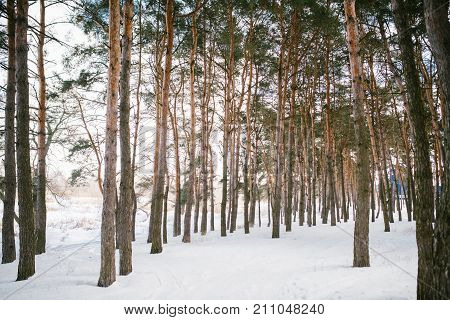 Snow covered forest in winter with wide angle distortion.