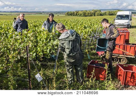 Verzy France - September 9 2017: Harvest of the grapes in the champagne area with people cutting pinot noir grapes in the vineyard at Verzy.