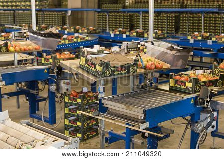 Harmelen Netherlands - May 23 2017: Tomatoes stockroom with conveyor belt in greenhouse for production of tomatoes.