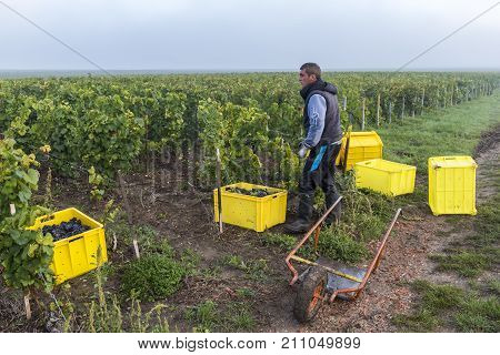 Vezernay France - September 10 2017: Harvest of Pinot Noir grapes in the Champagne region with a worker and yellow crates in the vineyard.