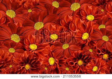 Floral red-yellow background of dahlias. Bright flower arrangement. A bouquet of red dahlias. Nature.