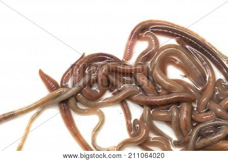earthworms on a white background . Photos in the studio
