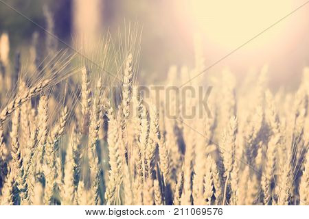 Beautiful peaceful scene. Field of grain at sunlight. Sunny field. Grain for making bread. Nature grain background