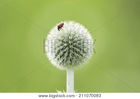 Ladybug on a flower. Echinops sphaerocephalus known by the common names glandular globe-thistle great globe-thistle or pale globe-thistle