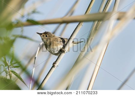 The Eurasian reed warbler or just reed warbler (Acrocephalus scirpaceus) is an Old World warbler in the genus Acrocephalus