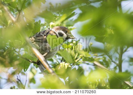 The Eurasian tree sparrow (Passer montanus) eating a spider. Tree sparrow sitting on a branch