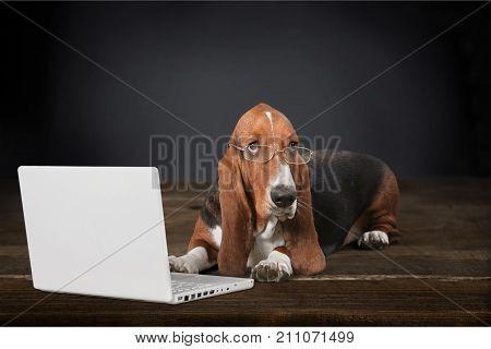 Dog hound basset basset hound computer background small