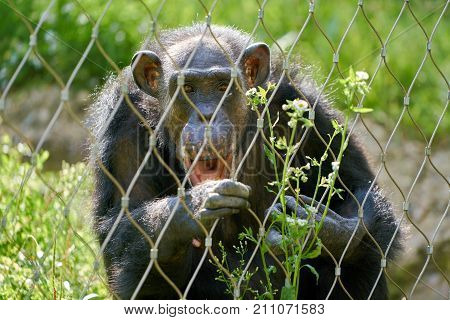 a chimpanzee behind a fence in the zoo