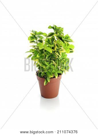 The plant Euonymus japonicus (family Celasiraceae) in a pot on a white background closeup