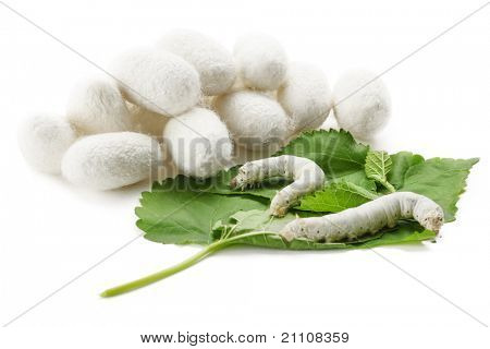 Silk Cocoons with Silkworm on Green Mulberry Leaf poster