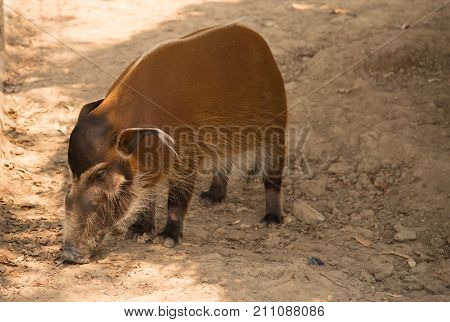 image of a red river hog / African Wildlife