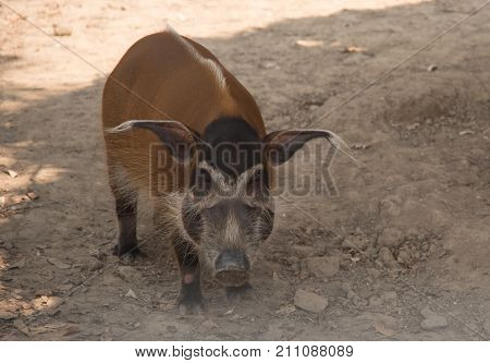 image of red river hog / African Wildlife