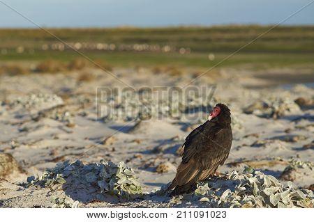 Turkey Vulture (Cathartes aura jota) on the beach of Sea Lion Island in the Falkland Islands.