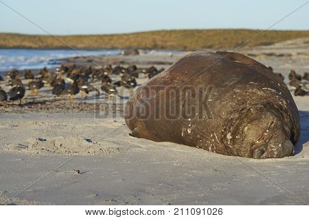 Male Southern Elephant Seal (Mirounga leonina) lying on a sandy beach on Sea Lion Island in the Falkland Islands. Falkland Steamer Ducks in the background.
