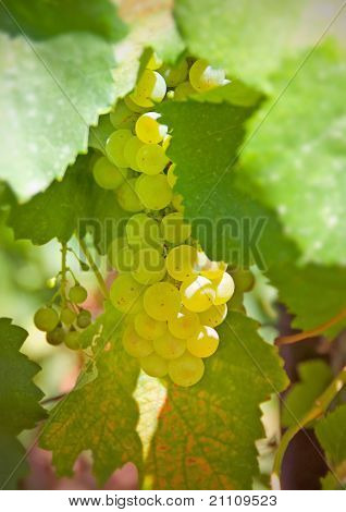 Cluster Of White Grapes Among Green Leaves