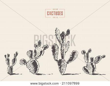 Set of cacti illustrations, cacti opuntia hand drawn vector, sketch