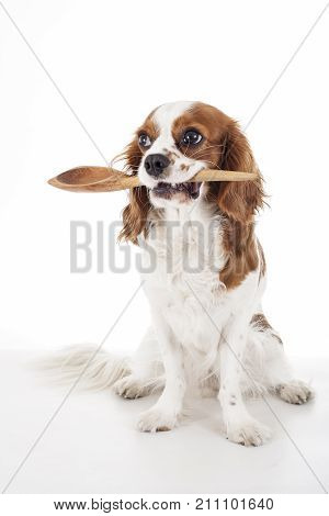 Hungry dog with kitchen spoon. Cute cavalier king charles spaniel dog photo in studio white isolated background. Dog cut out. Hungry dog illustration. Cute puppy..
