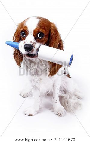 Dog with cleaning roll tape against hairy furry cloth. Dog with lint roller cleaning tool can illustrate hair loss dog shedding or other concept. Cavalier king charles spaniel stunning studio photos. Cute.