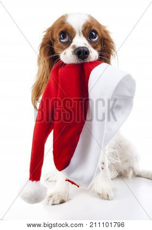 Dog with Santa hat. Christmas dog in studio. White background king charles spaniel dog. Christmas time. Santa hat with dog. Cute.