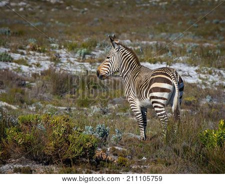 Ears pricked, a lone Cape Mountain Zebra looks into the distance.  Cape Point, South Africa