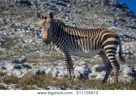 A lone Cape Mountain Zebra stares at the photographer near Cape Point, South Africa.