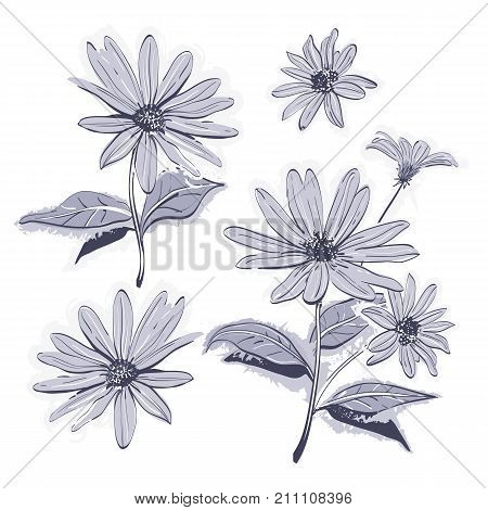 Vector drawing flowers hand-drawn chamomiles, daisies. Jerusalem artichoke flower. Botanical drawings watercolor stylization, Monochrome gray flowers on white background